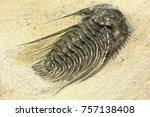 complete pyritised leonaspis ... | Shutterstock . vector #757138408
