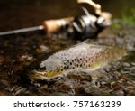 Trout Fish With Ultra Light...