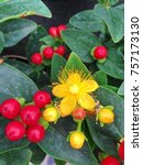 The Hypericum Miracle...