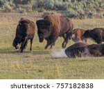 Male Bison Chases A Mate Acros...