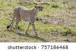 cheetah walking proud  | Shutterstock . vector #757186468