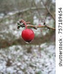 Small photo of A rainy day turns snowy, freezing the water upon a berry, encasing it in a shroud of ice, preserving it through the winter until the thaw where it will provide sustenance to a returning flock of birds