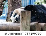 panda  bear taking a rest | Shutterstock . vector #757199710