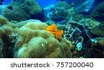 christmas tree worms underwater....   Shutterstock . vector #757200040