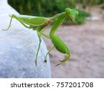 Mantis Or Praying Mantis ...