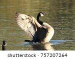 Canadian Goose Landing On Pond