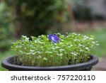 blue flower butterfly pea blue... | Shutterstock . vector #757220110
