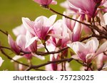 Magnolia flower on a green background - stock photo