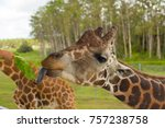 the head of a giraffe  eat.  | Shutterstock . vector #757238758