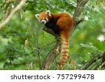 Red panda animal