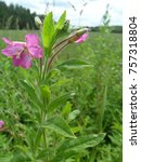Small photo of Great Willowherb wild flower