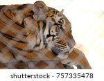 adult tiger closeup | Shutterstock . vector #757335478