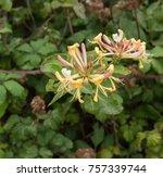 Wild Honeysuckle  Lonicera...
