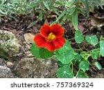 Tropaeolum Majus Flower...