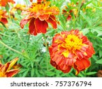marigolds close up. flower in... | Shutterstock . vector #757376794