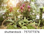 pink lady's slipper orchid at... | Shutterstock . vector #757377376