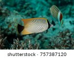 Small photo of Chevron Butterflyfish, Chaetodon trifascialis