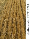 wheat field with the plants of... | Shutterstock . vector #757410724