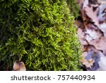 Thick Forest Moss Close Up In...