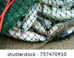 Full Of Sea Fish In Fishing Ne...