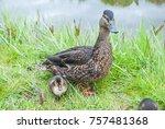closeup view of mallard duck... | Shutterstock . vector #757481368