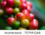 coffee beans ripening on coffee ... | Shutterstock . vector #757491268
