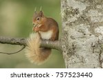 red squirrel standing on the... | Shutterstock . vector #757523440
