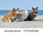 three chihuahuas sit on the... | Shutterstock . vector #757535200