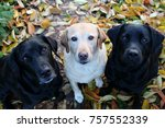 Three Labrador Friends Sitting...