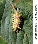 Small photo of Spiny Oak Slug Caterpillar