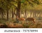 Chital Or Cheetal  Axis Axis ...
