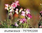 blooming dragon flowers | Shutterstock . vector #757592200