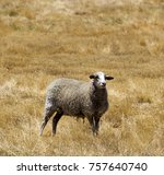 A  Woolly Sheep  Grazing  In A...
