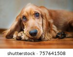 Small photo of the muzzle of a Spaniel puppy