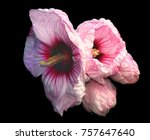 Stock photo rose of sharon at its moment of glory 757647640