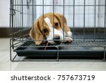 Beagle Dogs Are In The Cage...