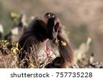 a male gelada baboon ... | Shutterstock . vector #757735228