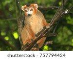 lemur in the wild  madagascar ... | Shutterstock . vector #757794424