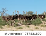 group of ostriches  struthio... | Shutterstock . vector #757831870