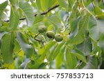 walnut  walnut tree  costa... | Shutterstock . vector #757853713