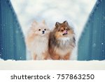 two spitz dog stand in the... | Shutterstock . vector #757863250