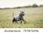 Stock photo weimaraner dog running in field in summer 757874296