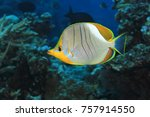 Small photo of Yellowhead butterflyfish (Chaetodon xanthocephalus) in the tropical coral reef of the Maldives