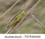 grasshopper  stethophyma grossum | Shutterstock . vector #757934440
