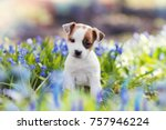 Stock photo white jack russell terrier puppy sitting among blue flowers in summer 757946224