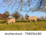 Sheep In A Field During Winter