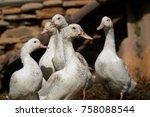 close up of ducks on field   Shutterstock . vector #758088544