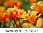 Bred Orange Tulips In The...