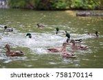 pravaya ducks in the pond ...