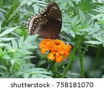 Stock photo marigold flowers and butterfly 758181070